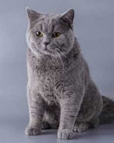 The celebrity British Shorthair kitten! Stefano Gabbana posts a cute picture of this adorable kitten pet!