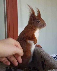 Danish celebrity squirrel Tintin risks losing his life!