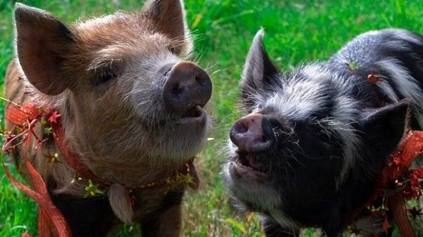 Katherine gifted 2 pet pigs to Chris